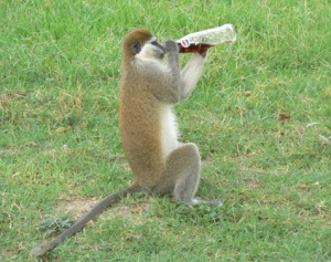 Monkey drinks Cola in Addis Ababa